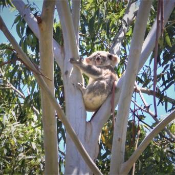 local koala
